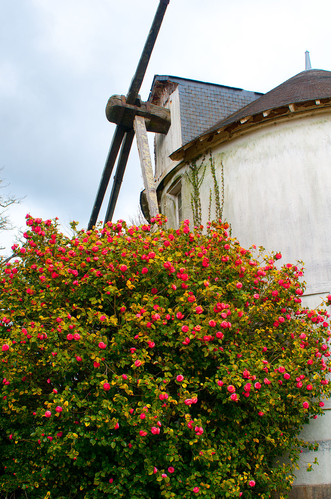 Le camellia, une rose chinoise