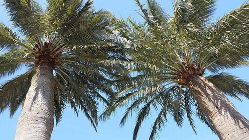 cimes des 2 cocotiers du Chili