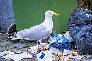 Goéland ans les ordures (image Adobe stock)