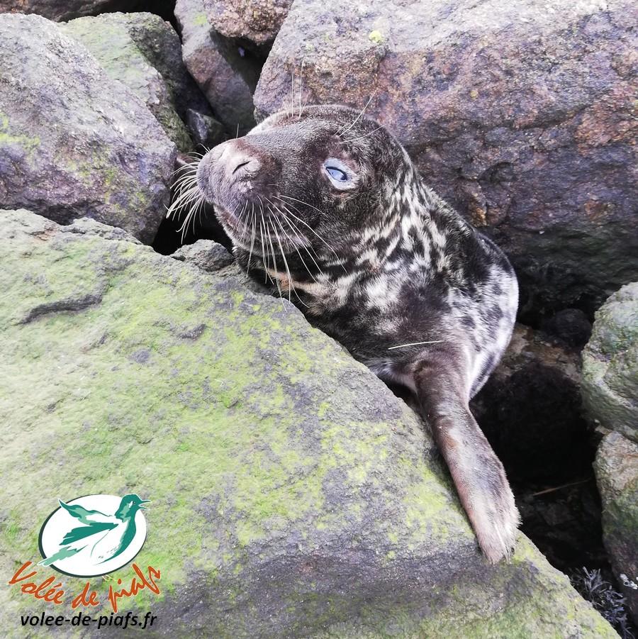 Phoque gris en détresse dans le Morbihan