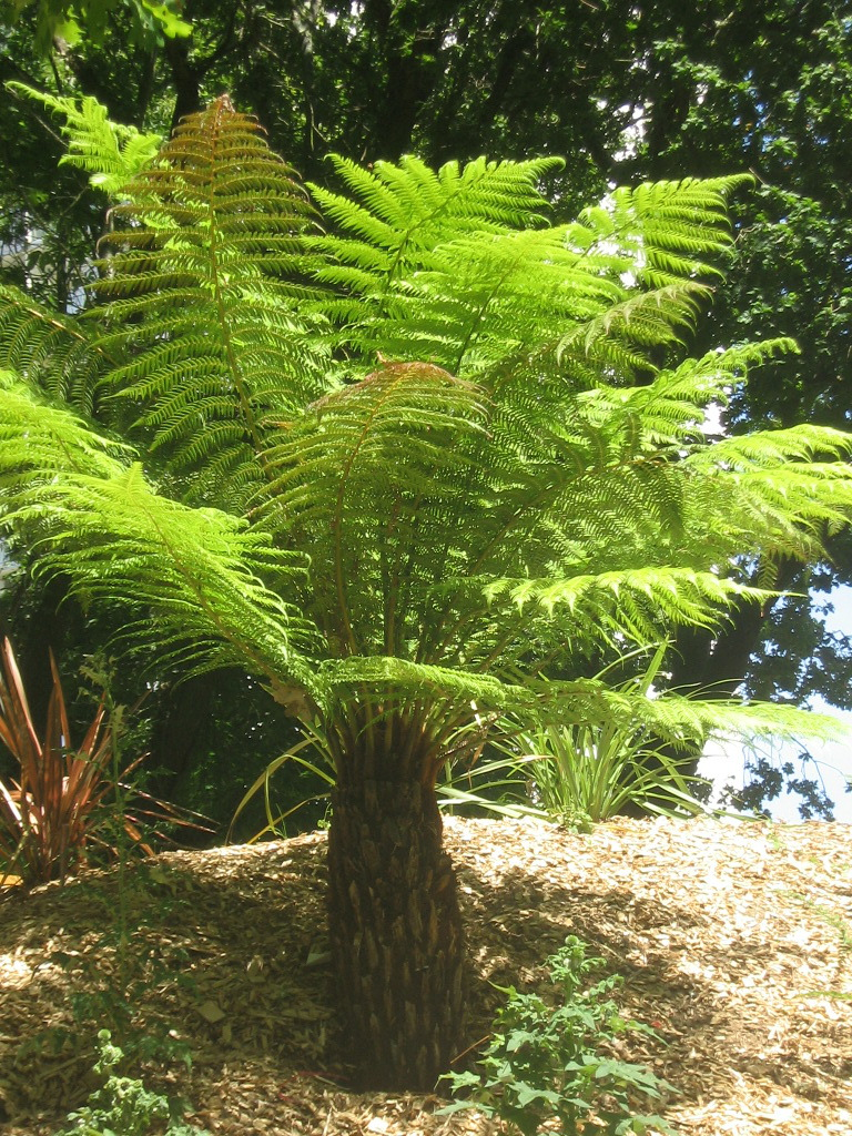Dicksonia antartica ''Fougère arborescente''