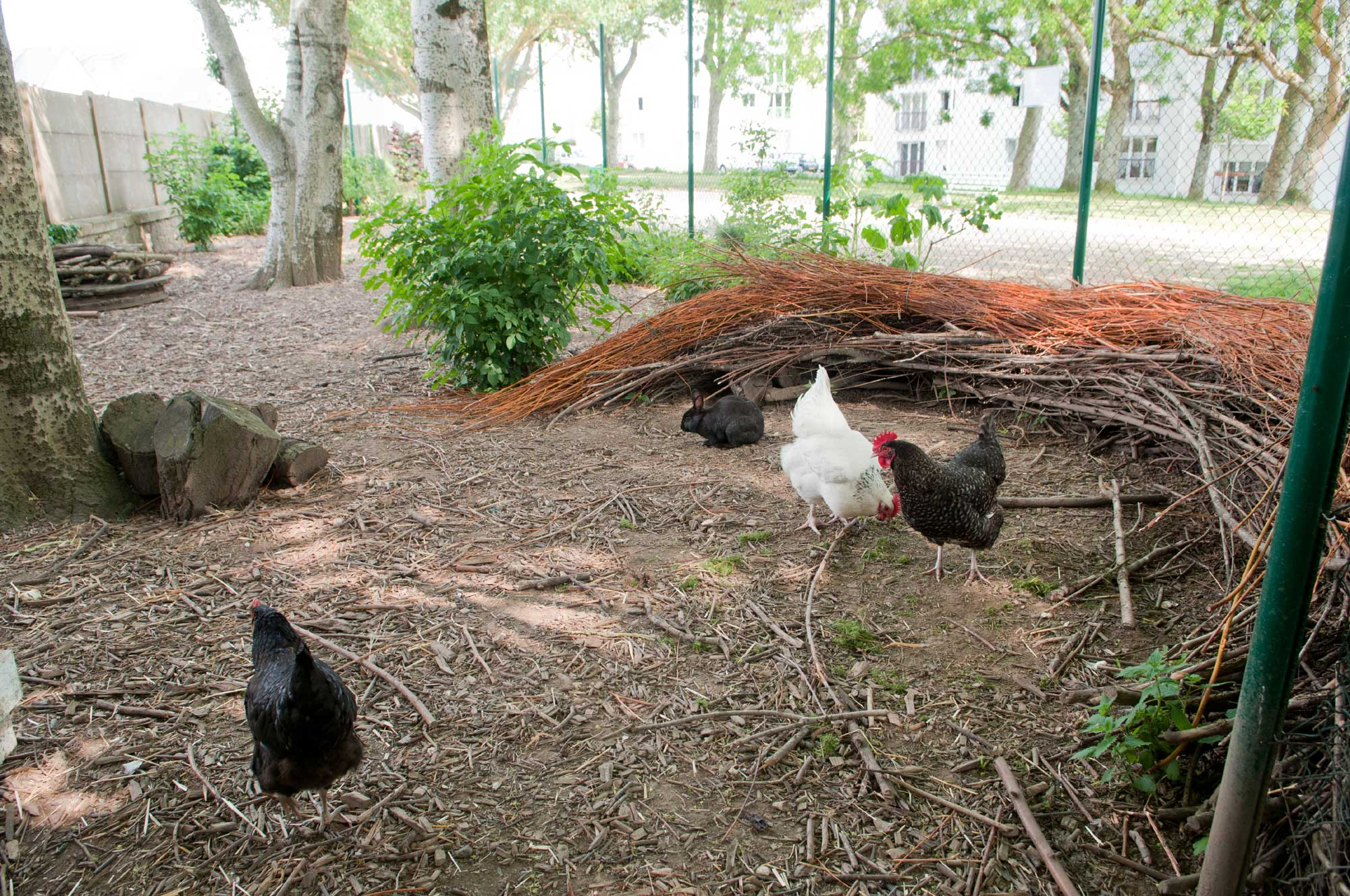 Jardin partagé Madeleine Desroseaux - poules et lapins - mai 2018