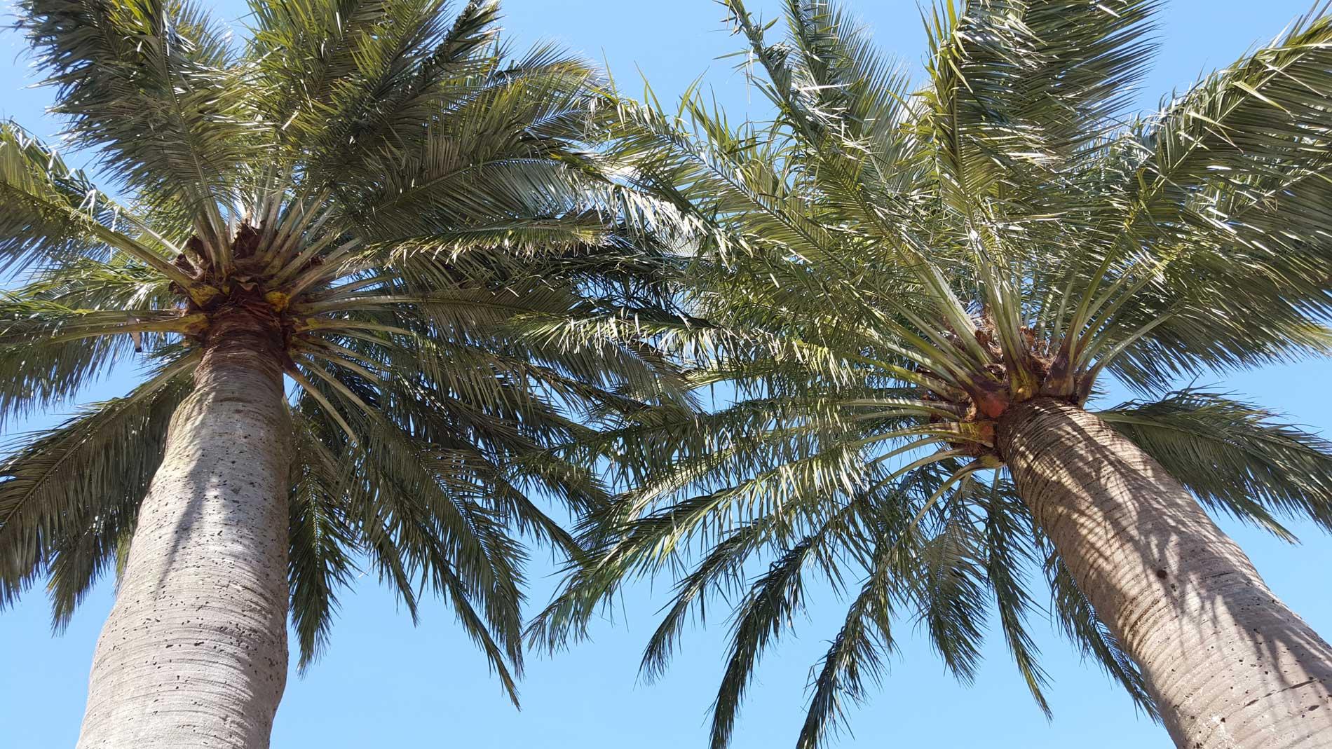 Les cimes des deux jubaea chilensis au mail du Faouëdic